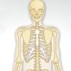 школа - Человеческий скелет